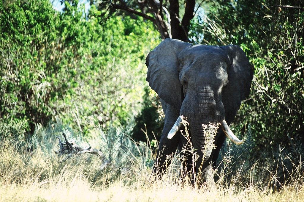 Botswana - Delta de l'Okavango - Intimidation