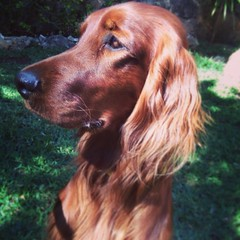 blue picardy spaniel(0.0), dog breed(1.0), animal(1.0), sussex spaniel(1.0), dog(1.0), boykin spaniel(1.0), pet(1.0), field spaniel(1.0), irish setter(1.0), setter(1.0), english cocker spaniel(1.0), picardy spaniel(1.0), spaniel(1.0), german spaniel(1.0), french spaniel(1.0), carnivoran(1.0),