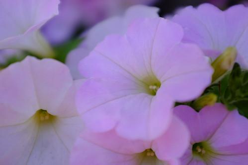 "Petunia ""Sakura Sakura"""