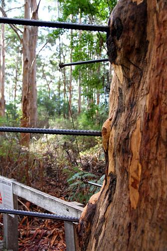 Pemberton - Gloucester Tree - Alternating Bumps