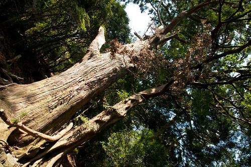 大山登山・絆の木
