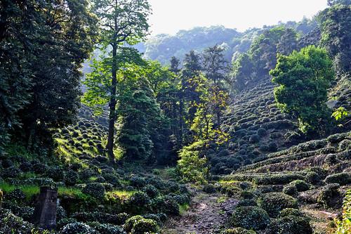 china 杭州 teaplantation zhejiang 浙江 龙井茶 longjingtea 龙井村 龙井茶园