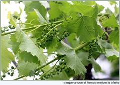 racimos de uvas en parra