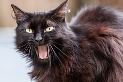 domestic long-haired cat, animal, small to medium-sized cats, pet, cat, carnivoran, whiskers, nebelung, norwegian forest cat,