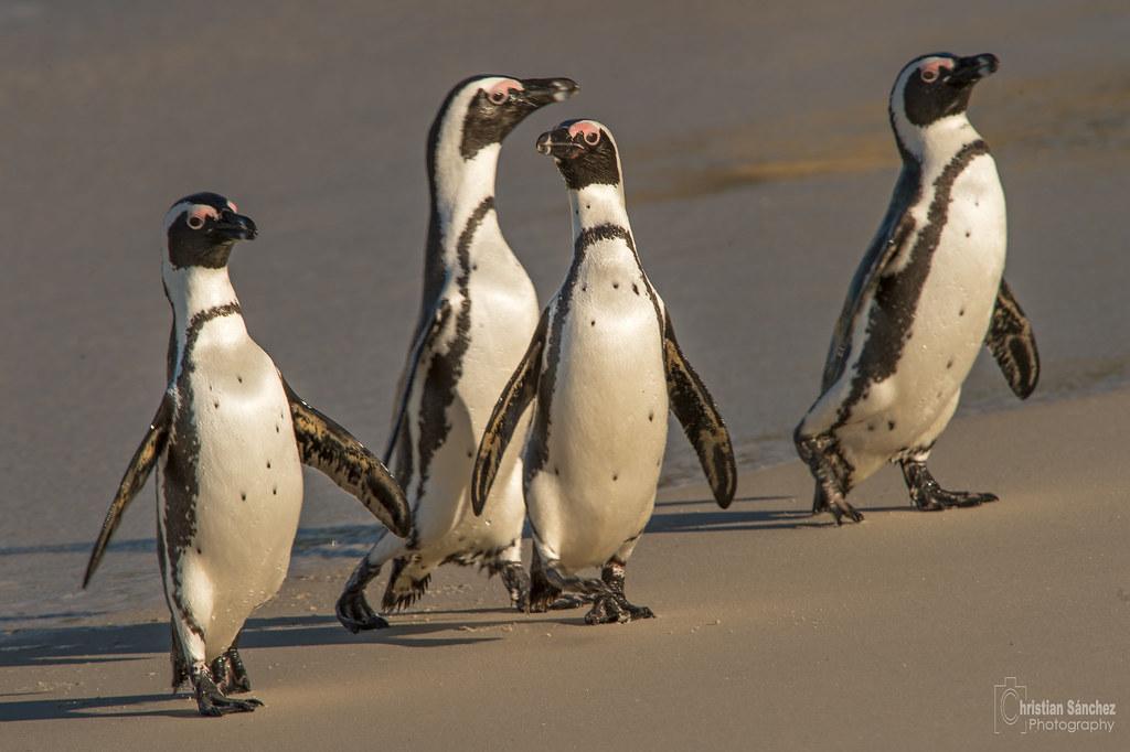 pingüino de El Cabo  African penguin (Spheniscus demersus)