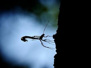 Megarhyssa Wasp