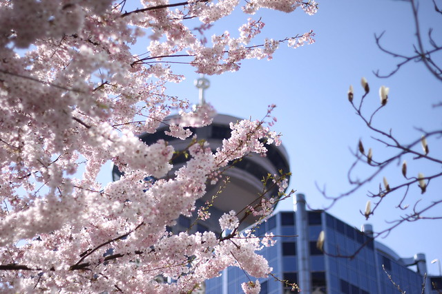 Cherry blossoms in Downtown Van