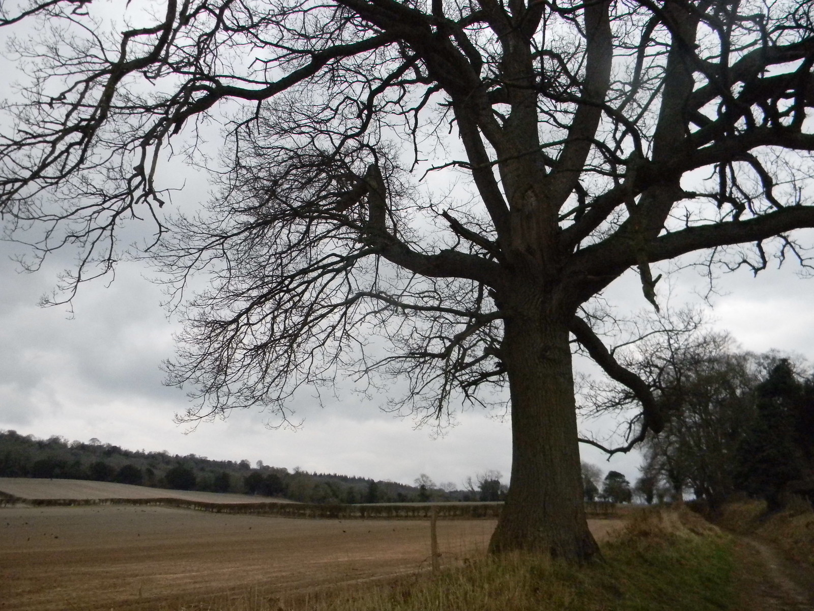 Tree with fields Guildford to Gomshall