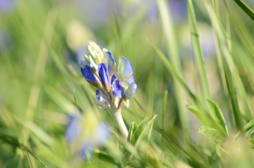 bluebonnet2013001 by p_d_t