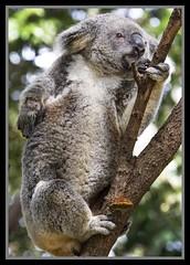 Koala waiting for his leaves-2=