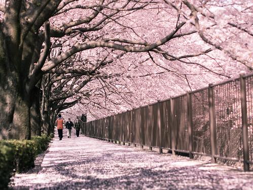 Through the sakura tunnel