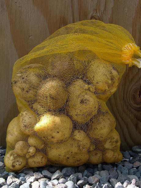 Potato growing in bag