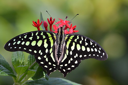 Brilliant black and green Graphium agememnon is nectaring on red Pentas by jungle mama