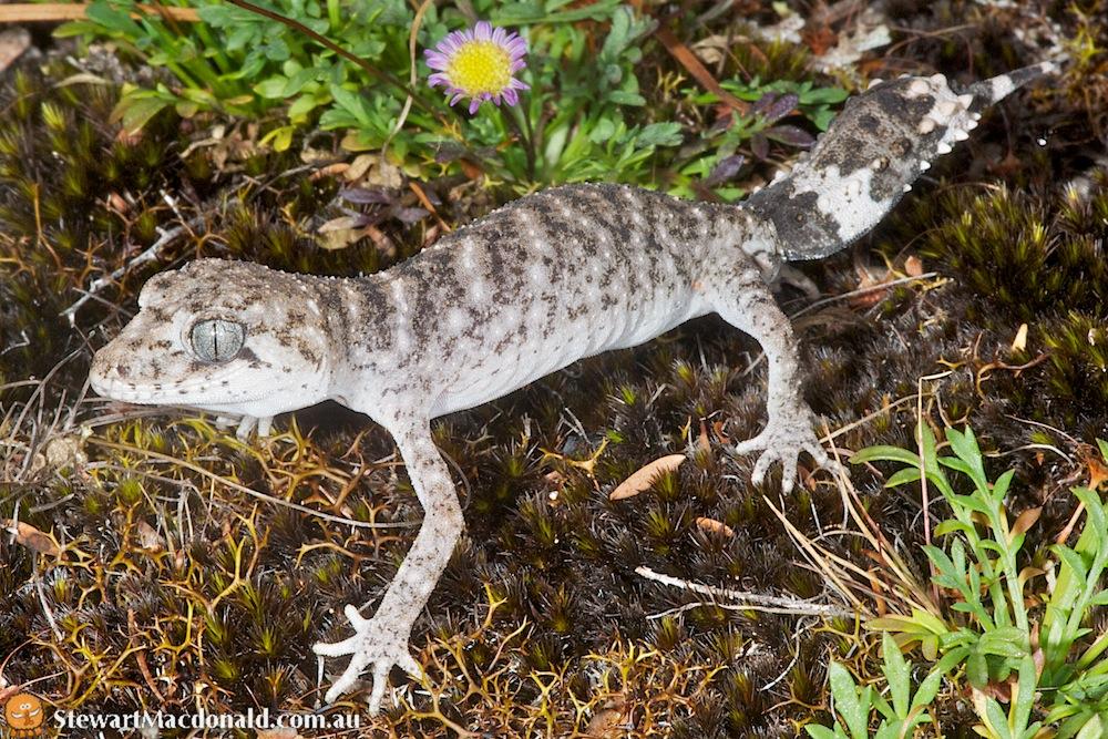 New England Tableland thick-tailed gecko (Uvidicolus sphyrurus)