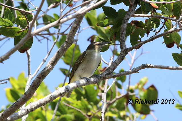viréo a moustaches- black whiskered vireo