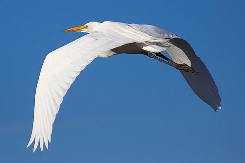 IMG_6144 Great Egret, Sacramento National Wildlife Refuge by ThorsHammer94539