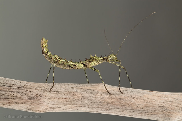 Andropromachus scutatus - new spiny phasmid species from Vietnam 8640146736_44ece3781f_z