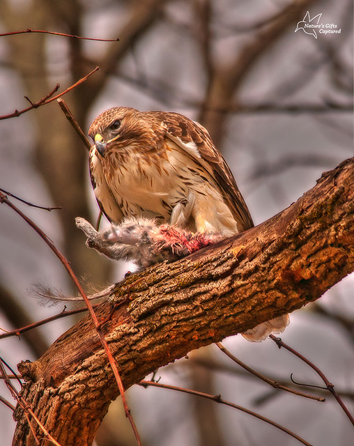 Red-tail w/ squirrel .... :)