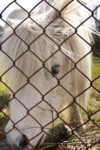 White Shetland pony