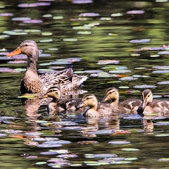 Mallard w/ ducklings. Photo taken at Innisfree Garden.  #birds #instabirds #most_deserving #birdsofinstagram #natureonly #ilovebirds #best_birds_of_instagram #igbirdfreaks #birdphotos #birdphotographs #nature #naturephotos #ilensdaily #wildlife #wildlifep