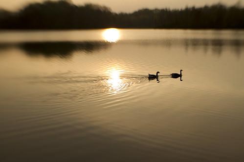 sunset silhouette lensbaby geese maryland f40 boyds littlesenecalake blackhillsregionalpark sweet35optics