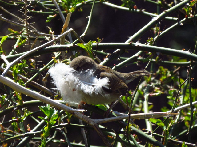 House Sparrow1R with feather 4:28:13