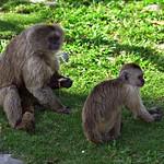 Monos capuchino