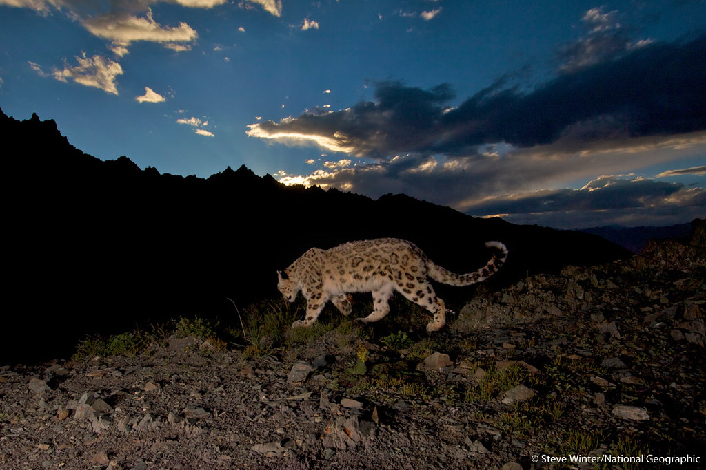 Learn how Panthera's Media Director, Steve Winter, captured this image & more in National Geographic's 'Searching for the Snow Leopard' video narrated by Steve @ bit.ly/JgL7mv Learn more about Panthera's Snow Leopard Conservation Program @ bit.ly/986xYd