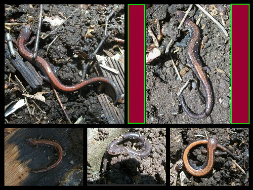 plethodon fun times