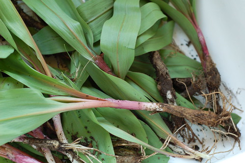 Freshly picked ramps awaiting cleaning by Eve Fox, the Garden of Eating blog, copyright 2013