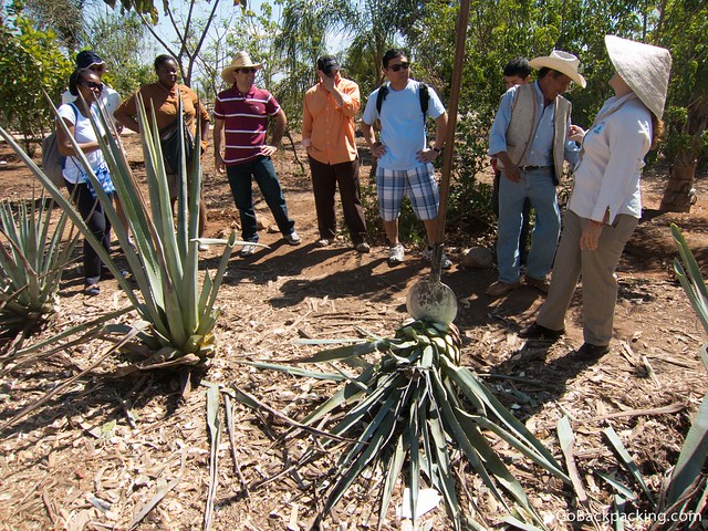 Taking turns chopping off the leaves of the blue agave plant with a traditional tool