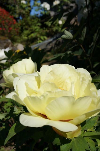 yellow peony flower