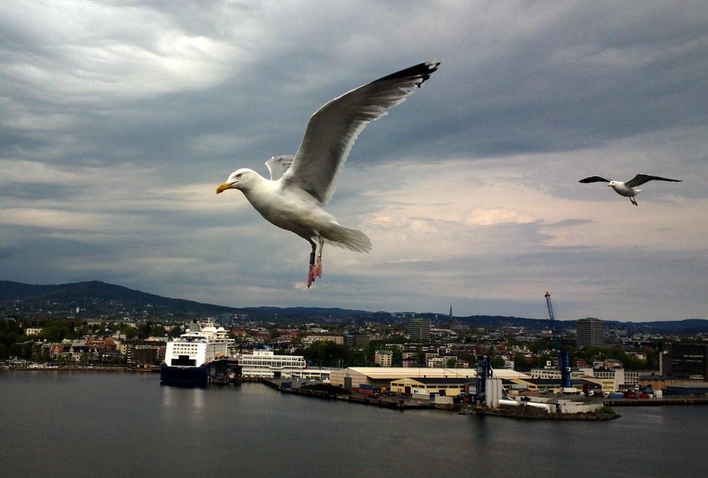 Seagull crop