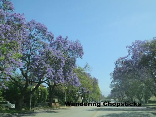 5.23 Jacaranda Trees - San Gabriel 1