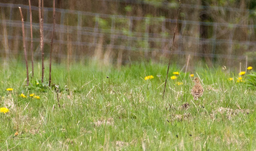 First Skylark Photo