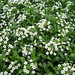 Small photo of Alyssum Snow Crystal