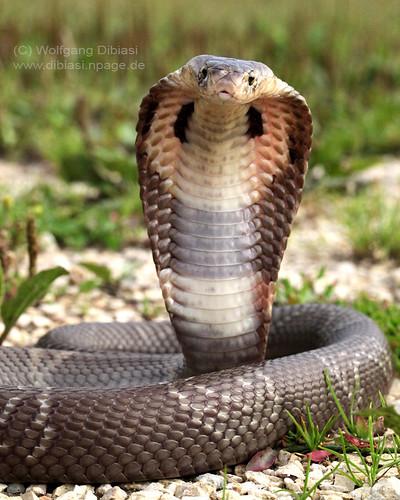 Monocled cobra, Monokelkobra