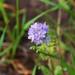 Violet cluster blossom