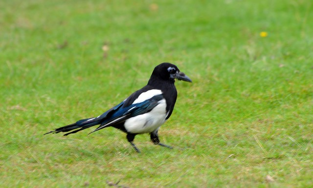 Magpie  (6) Had a hard time looking after there young