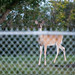 Deer off 23 Avenue