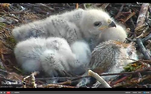 Cornell RTH nestlings 2013