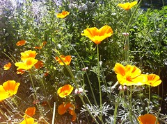 annual plant, eschscholzia californica, flower, plant, wildflower, flora, poppy,
