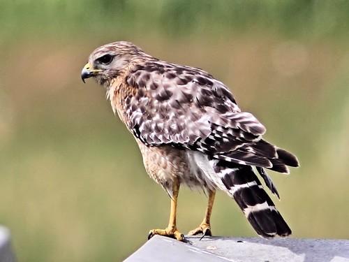 Red-shouldered Hawk 20130520
