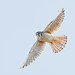 American Kestrel in Flight by Raymond Lee Photography