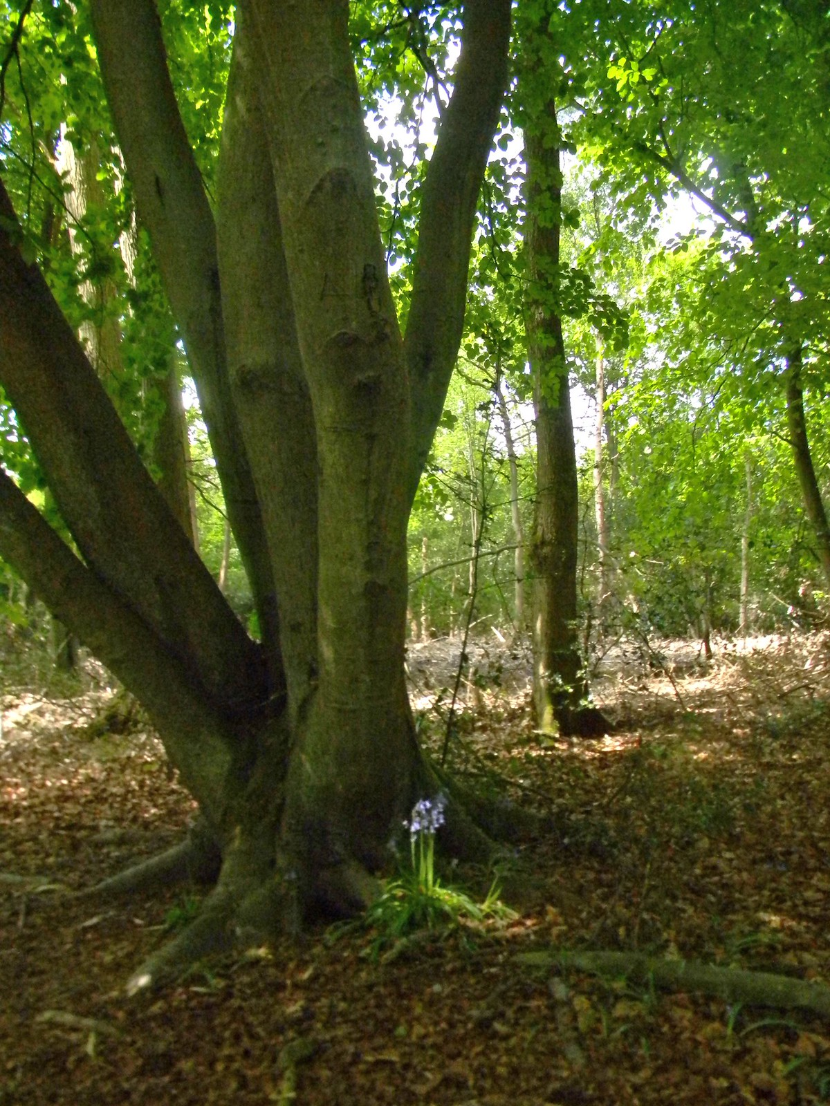 Bluebell and tree Gerrards Cross to Cookham