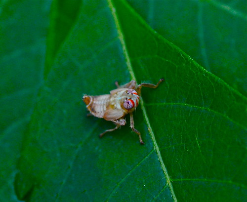 bug insect unidentified weirdbug strangebug tokina100mmf28atxprod tokinaaf100mmf28macro macrolife tokinalenses leafhoppernymph nikond7000