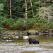 Brown Bear In The River (Martin Potter)