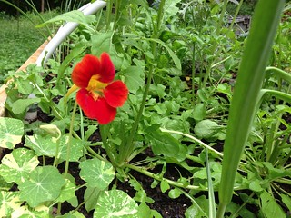 May a hundred nasturtiums bloom