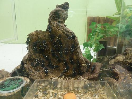 シロモンオオサシガメ