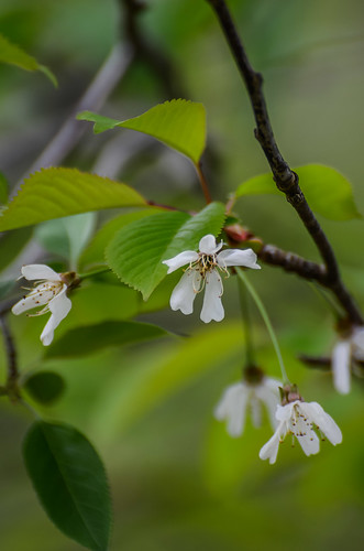 <p><i>Prunus</i>, Rosaceae<br /> Maplewood Conservation Area, North Vancouver, British Columbia, Canada<br /> Nikon D5100, 70-300 mm f/4.5-5.6<br /> April 28, 2013</p>